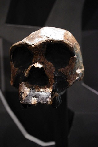 Homo ergaster 'the working man', a human ancestor that lived in Africa 1.5 million years ago. Photo: Staffan Vilcans