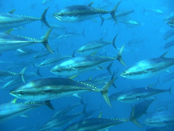 Bluefin tuna Photo: Tom Puchner