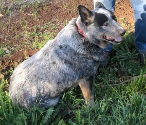 Jet, the Blue Heeler, having a great time scrounging for truffles